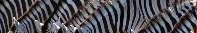 hf-rwu-respektvoller-und-wertschaetzender-umgang-zebra-fluss-trinken-wiese